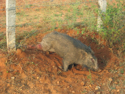 wild boar, wild pig, crop raidng wild animals, crop raiding wild boar, human animal conflict