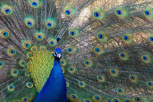 Contoh gambar burung merak
