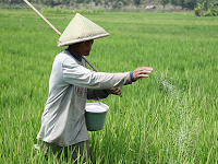 Cara Pemuppukan Tanaman Padi Yang Benar Menurut Balai Besar Penelitian Tanaman Padi Balitbangtan - Kementerian Pertanian