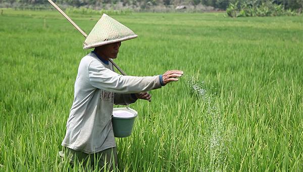 Cara Pemupukan Tanaman Padi Yang Benar Menurut Balai Besar Penelitian Tanaman Padi Balitbangtan - Kementerian Pertanian