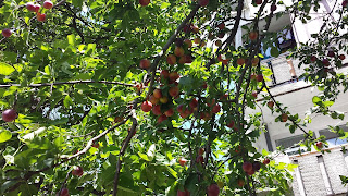Sliva, Plums, Ripe, Picking, Yambol, Streets,