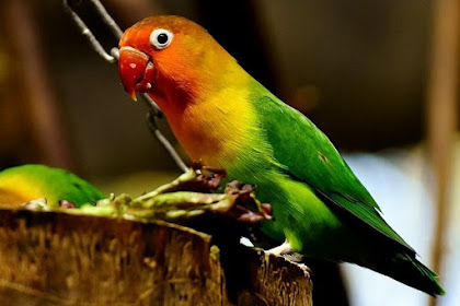 Mempersiapkan Kandang Untuk Ternak Lovebird