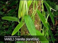 Klasifikasi dan Morfologi tanaman Vanili (Vanilla planifolia)