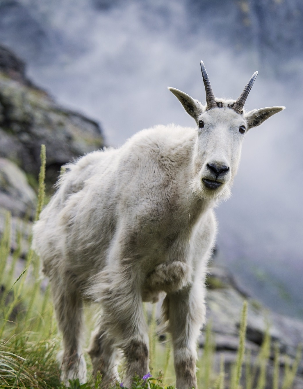 Picture of a mountain goat.