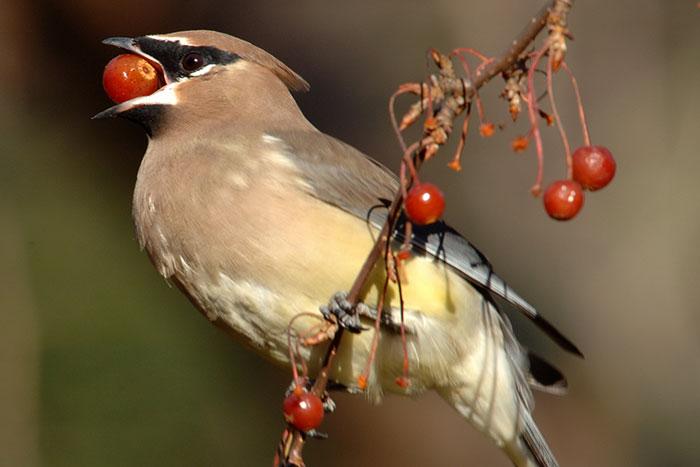 Burung Mabuk