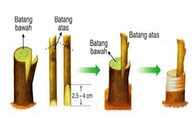 menyambung perkembangbiakan vegetatif buatan