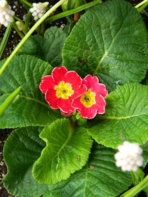 Red primrose Primula at the Allan Gardens Conservatory 2018 Spring Flower Show by garden muses-not another Toronto gardening blog