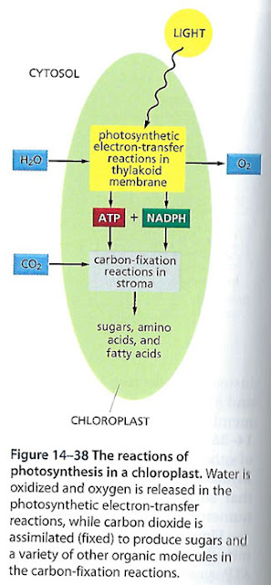 Photosynthesis leads to the Great Oxidation Event   (Source: Molecular Biology of the Cell)