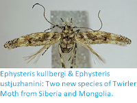 http://sciencythoughts.blogspot.co.uk/2018/04/ephysteris-kullbergi-ephysteris.html