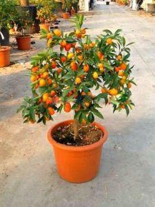 cara menanam dan merawat kumquat/jeruk nagami di dalam pot agar tumbuh dengan baik dan cepat berbuah