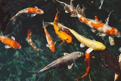 Usaha Ternak Ikan Hias Aquarium yang Menjanjikan
