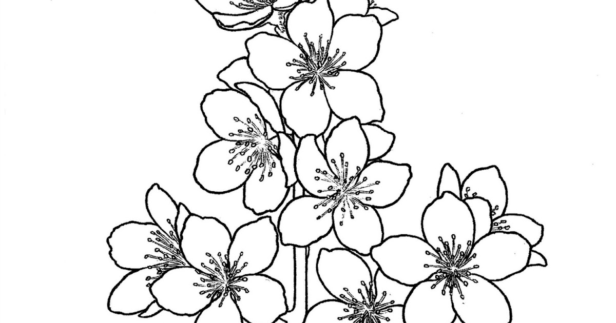 State Flower Coloring Book Delaware State Flower The Peach Blossom