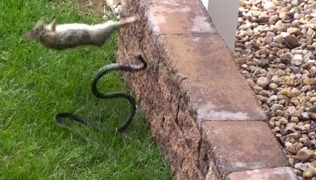 Mother Rabbit fight snake to protect her bunnies