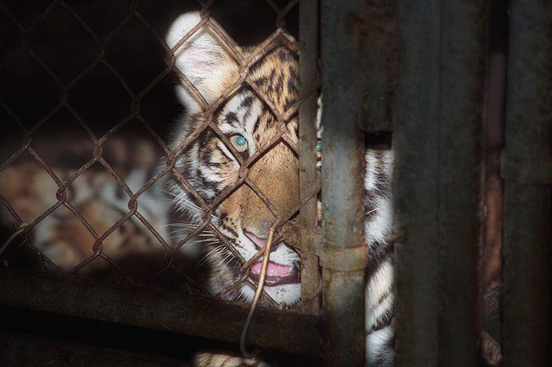 Cria de tigre numa jaula