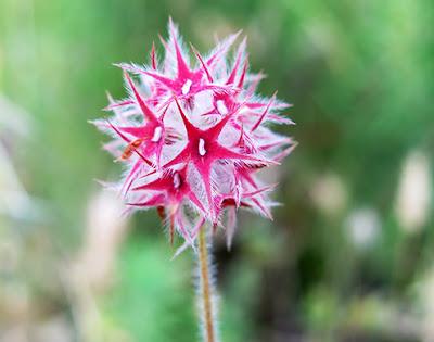 Estrella (Trifolium strellatum) flor silvestre roja