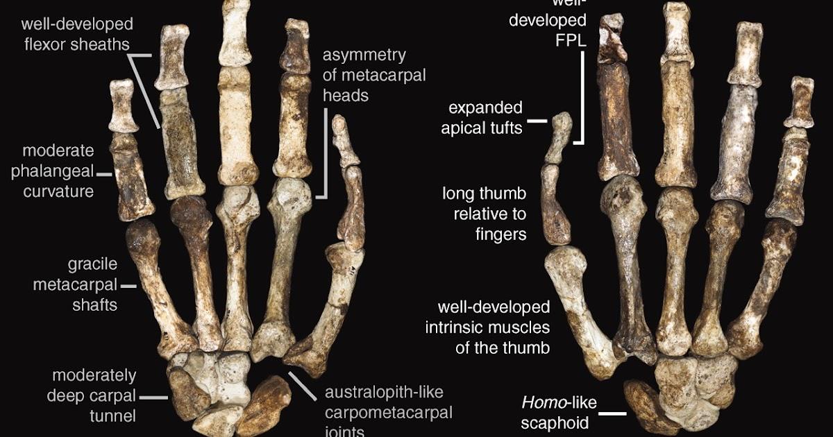 Los 'Australopithecus' combinaban una vida en los árboles con una mano precisa