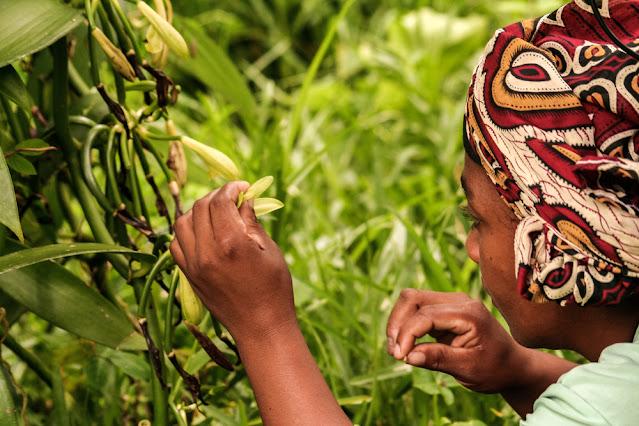 vanilla farming in india