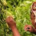 Vanilla Farming in India - Guide - Profit