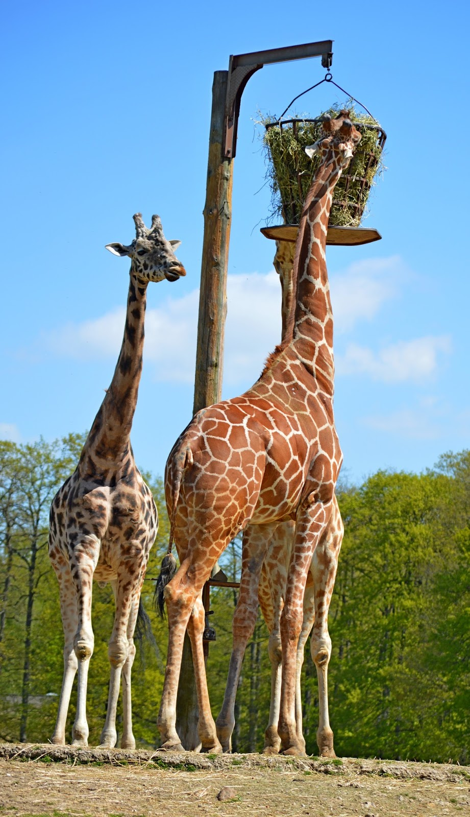 Picture of giraffes feeding.