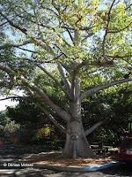 Silk cotton tree, Foster Botanical Garden - Honolulu, HI