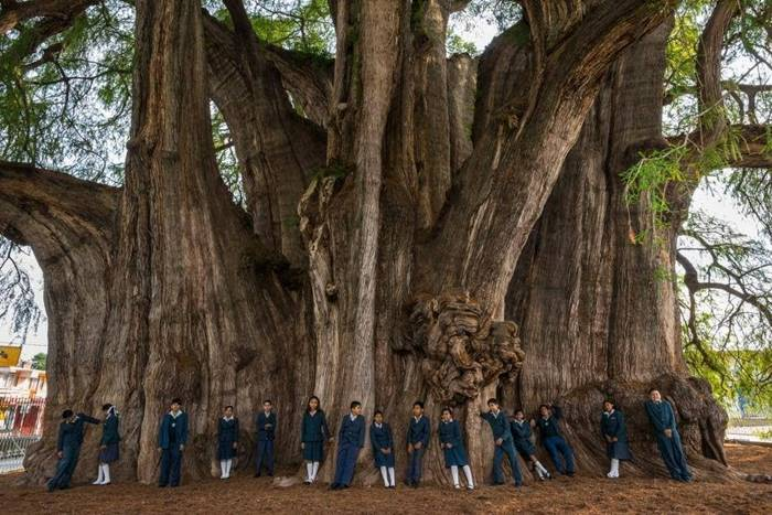 Sixth-grade children from the Colegio Motolinía de Antequera line up in front of a Montezuma cypress known as el Árbol del Tule. The trunk, 119 feet in circumference and roughly 38 feet in diameter, supports a crown the size of almost two tennis courts Photo Cred: Diane Cook and Len Jenshel