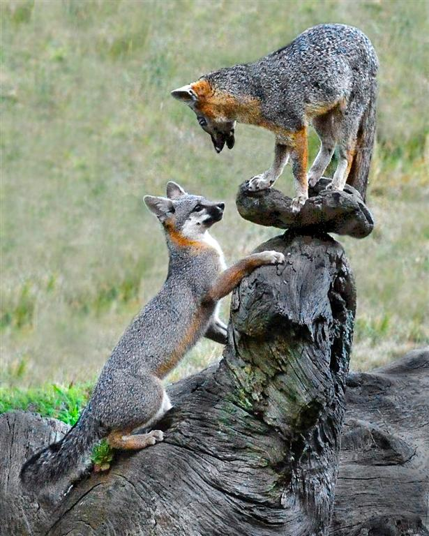Mendonoma Sightings Gray Fox Kits Are Getting Bigger