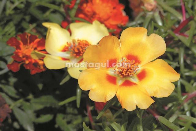 Tanaman Bunga Hias Pukul Sembilan