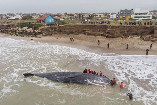 Un cachalote de unos 15 metros murió varado en una playa de Santa Clara del Mar