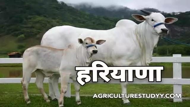 हरियाणा नस्ल की गाय के बारे में पूरी जानकारी