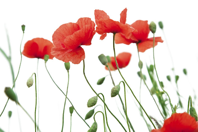 Red poppy flower PNG  image