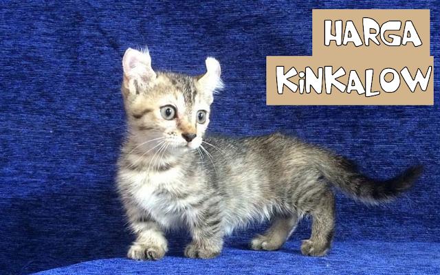 Harga Kucing Kinkalow