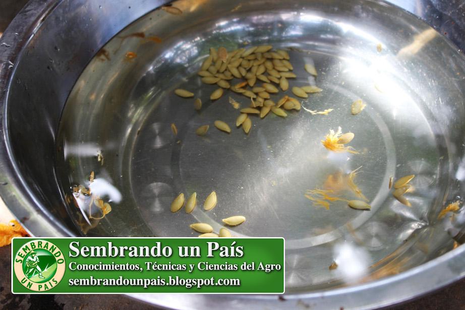 selección de semillas de auyama