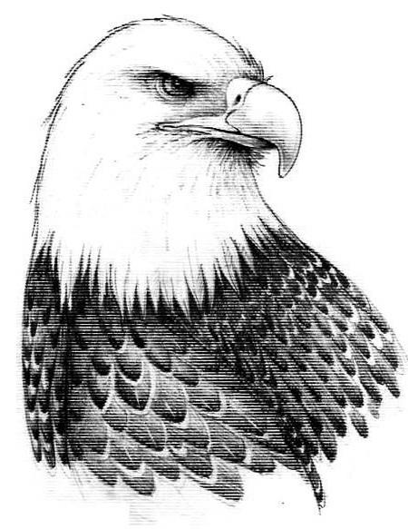 Sketsa burung elang gagah