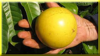 gambar buah abiu