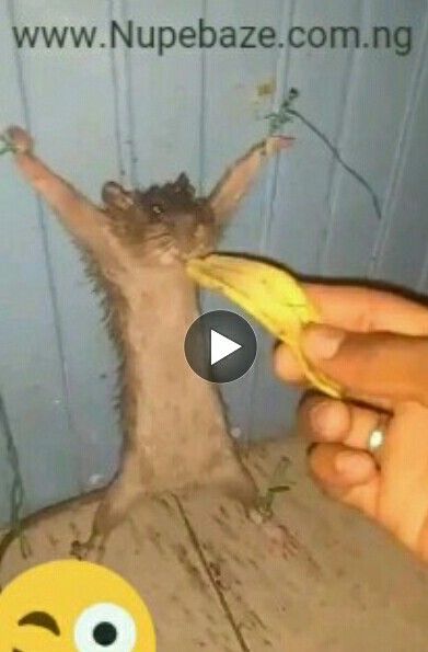 VIDEO: Funny Guy Arrested Rat For Stealing Banana (Funny Video)