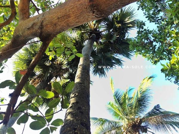 Pohon aren, kacang mete, dan kelapa tumbuh berdampingan di hutan desa Tejakula, Buleleng Bali.