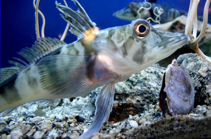Antarctic icefish produces antifreeze to maintain liquid blood  |Antarctic Icefish