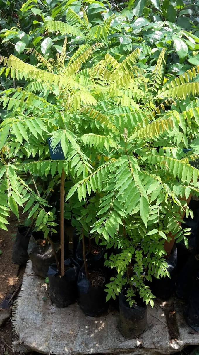 Khasiat pokok buah belimbing buluh