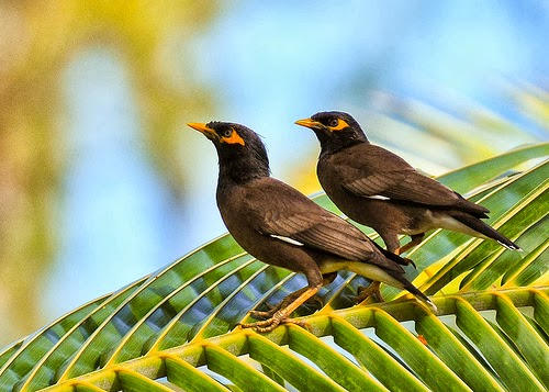 Maui: The land next to our sailboat: Myna Birds on a ... - photo#11