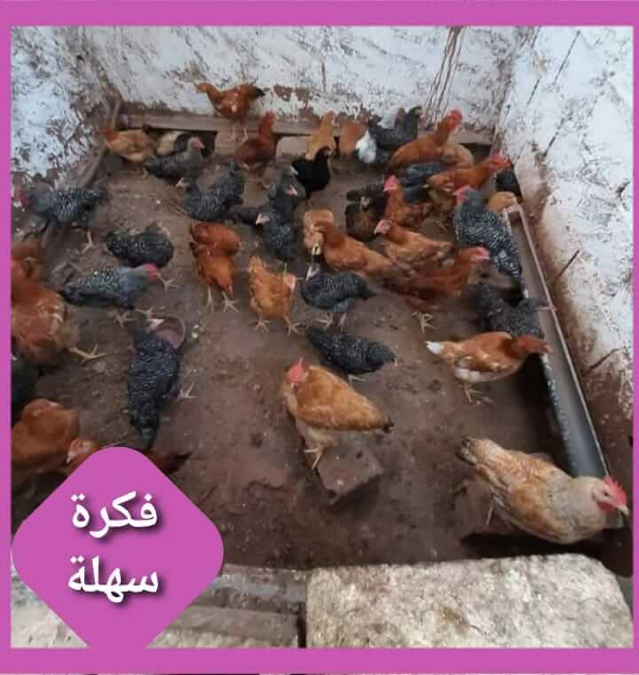 تربية الدواجن أسرار تربية الدجاج البلدي نصائح الخبراء
