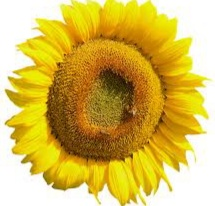 kelopak bunga matahari