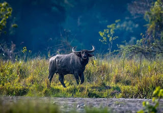 Wild Buffalo in Nameri National Park