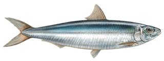 sardine fish in malayalam