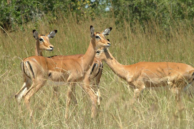 impala animal sound - 800×533