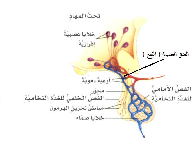 هرمونات الجزء العصبى الغدة النخامية