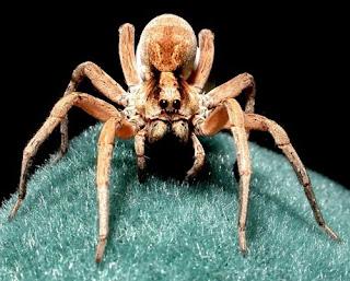 Invertebrate Diversity: Lycosa Furcillata: The Wolf Spider