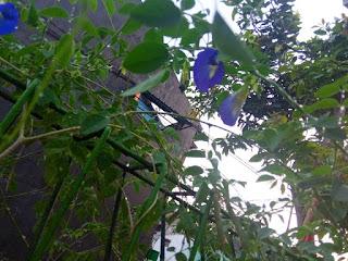 Bunga telang hasil berkebun selama pandemi