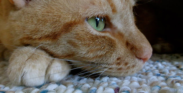 A tabby cat named Lil Red Buttons