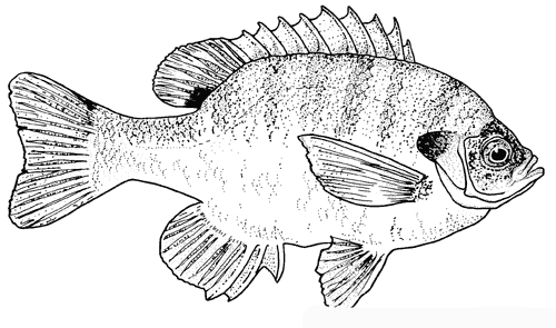 fish wildlife coloring pages | Animal Fishs Coloring Pages Images