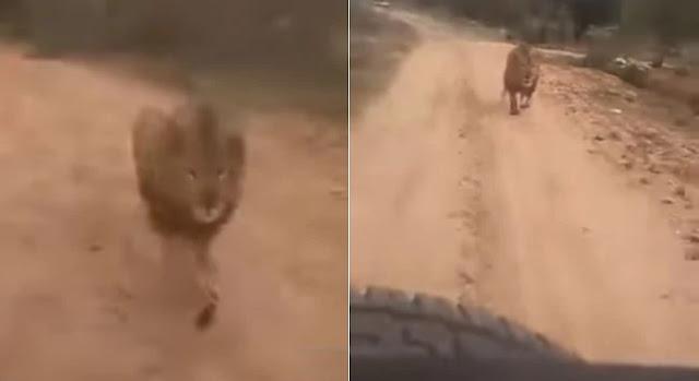 अचानक सफारी गाड़ी सामने आने से भड़का शेर, करने लगा पीछा और फिर...